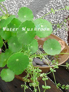 Water Mushroom.jpg