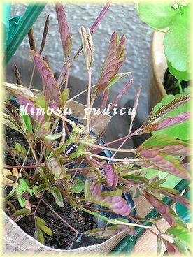 Mimosa pudica.jpg