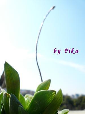花かがみ花芽の成長.JPG
