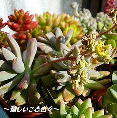秋麗開花(08.01.22).jpg