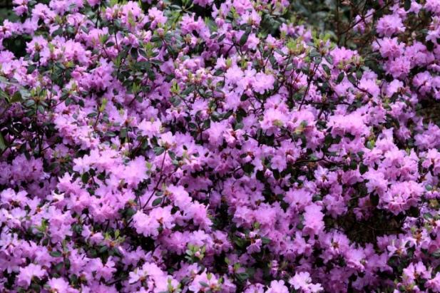 +0420 rhododendron02.jpg
