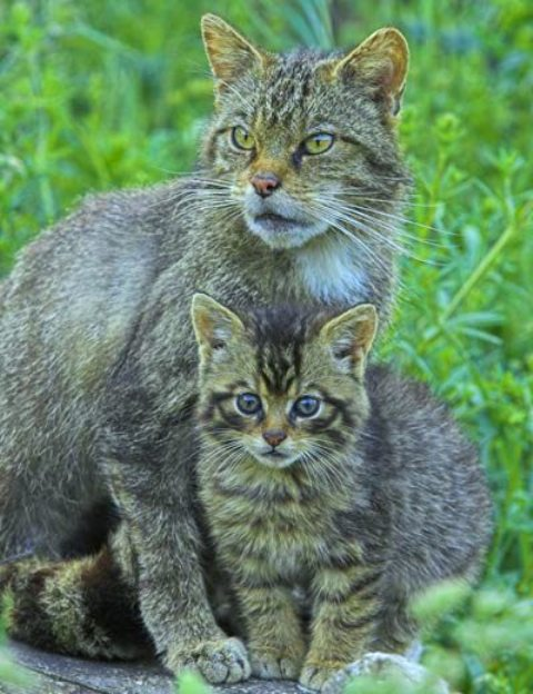 0819 Wild cat01.jpg