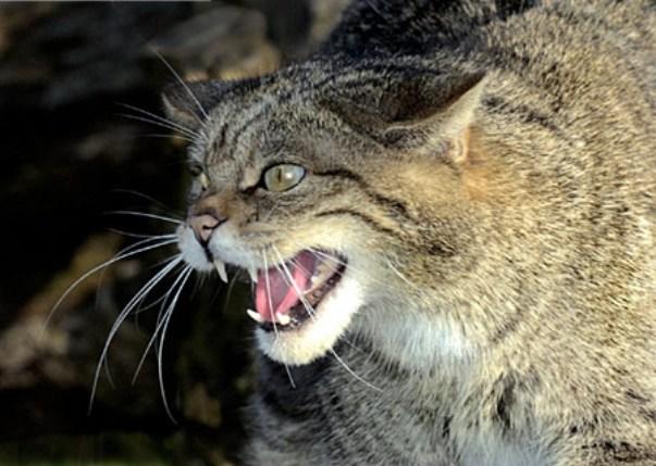 0819 Wild cat.jpg