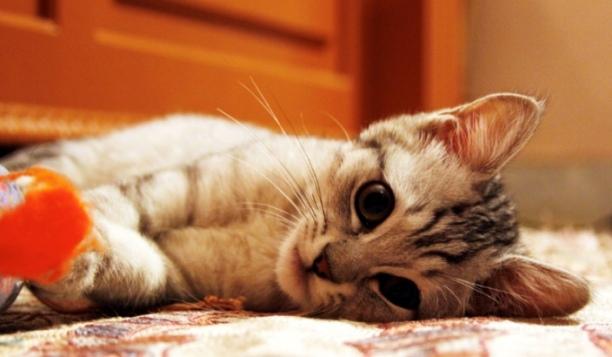 +0426 Kuwait cat.jpg