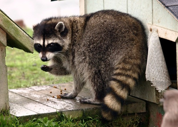 you are offender Raccoon.jpg