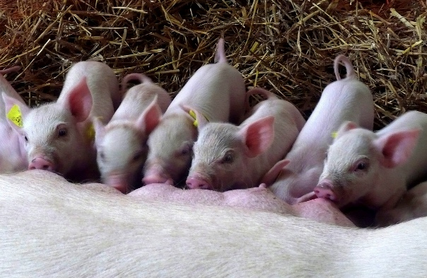 0127=Pigs In there.jpg