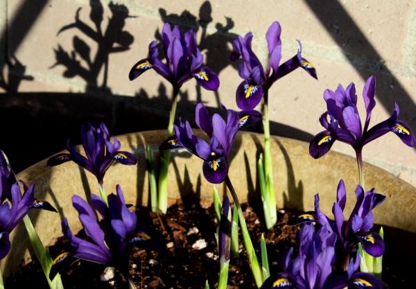 0127=Iris reticulata.jpg