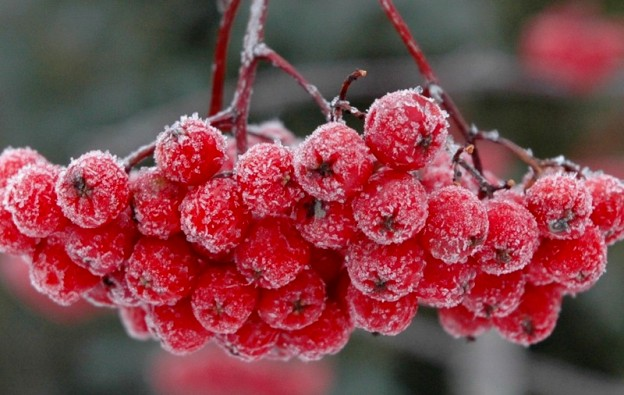1216=Frosted Dogberries01.jpg