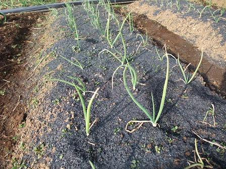 作り方 籾殻 くん 炭 もみ殻と米ぬかを畑に使うときのポイントと注意点【畑は小さな大自然vol.82】
