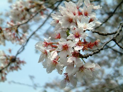 お花見.jpg