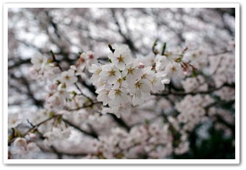 sakura_006.jpg