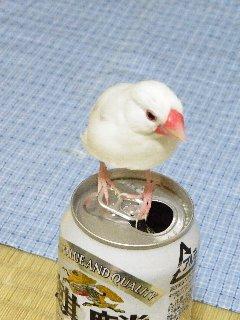 ビール文鳥♪