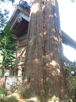須佐神社・樹齢1000年超の大松