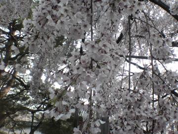 醍醐寺・枝垂桜