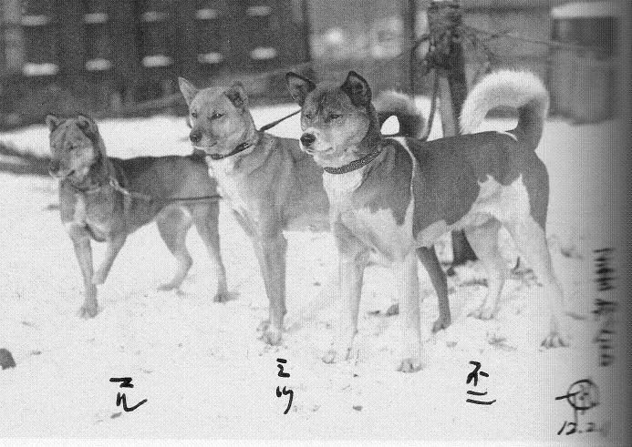 日本犬 ]   イケメン犬 小次郎 -...