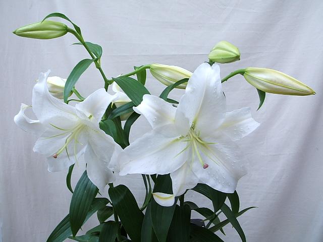 カサブランカ (植物)の画像 p1_21