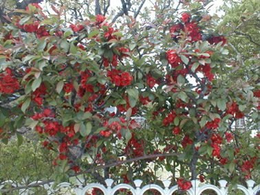 ボケ (植物)の画像 p1_8