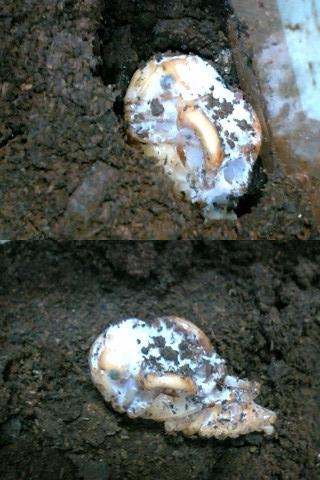 カブトムシ 蛹 カビ カブトムシの幼虫の腐葉土にカビが生えた時に出来ることは