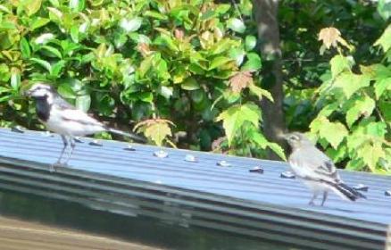 ハクセキレイ(成鳥と幼鳥)