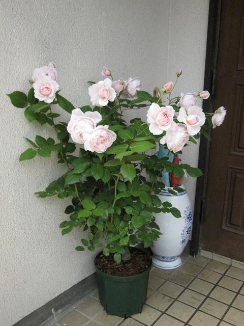 鉢植えのアブラハムダービー   ...