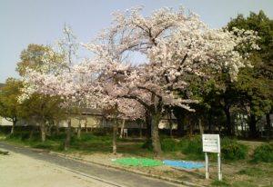 080406三国桜