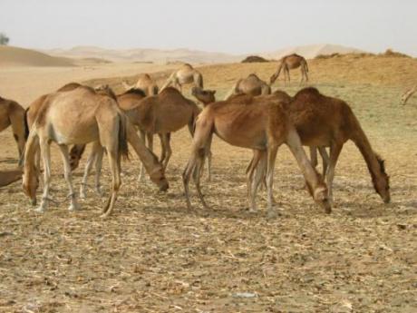 ラクダの画像 p1_15