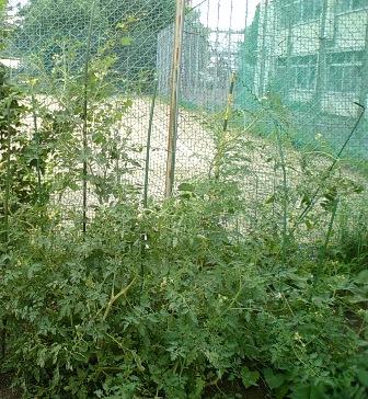 kanaちゃんのミニトマト3