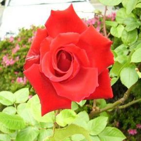 紅いバラ.JPG