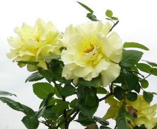 黄色いバラ2.JPG