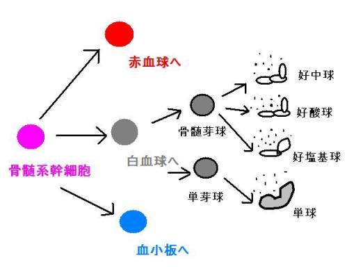 腎性貧血 その10 血球の分化と成熟3 猫の慢性腎不全における食事療法の理論と実践 楽天ブログ