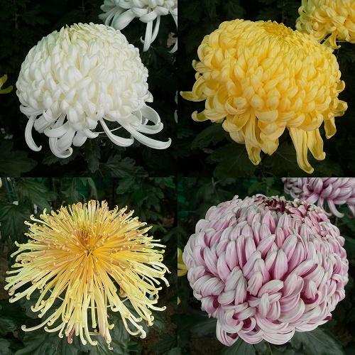 菊の画像 p1_39