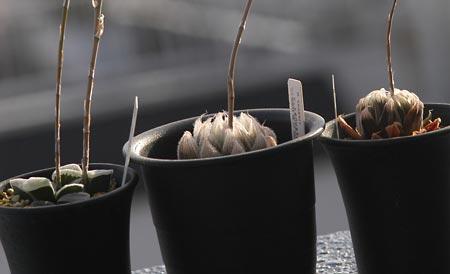 ハオルシア3種
