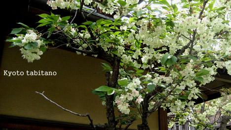 御衣黄 桜満開