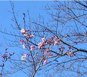 平野神社の梅