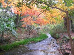 下鴨神社糺の森の紅葉