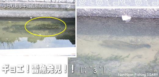 h23.08近所の川で雷魚発見