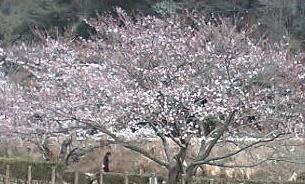 2日の桜☆3