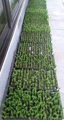 1400本の苗