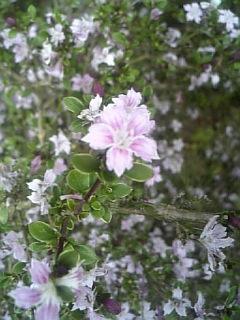 紫丁花~~\(^o^)/☆