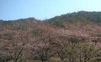 ダムの桜。まだ~