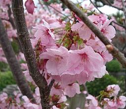 蓮華王院桜2.jpg