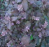 赤紫蘇の花.jpg