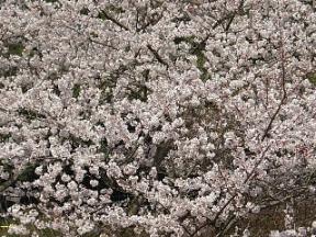 ダムの桜.jpg