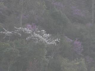 朝もやのなかの桜.jpg