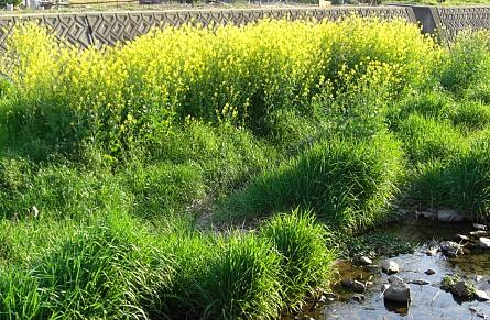 川のなかの菜の花.jpg