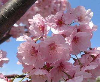東寺の桜.jpg