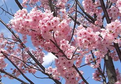 東寺の桜2.jpg
