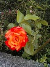 薔薇、復活♪