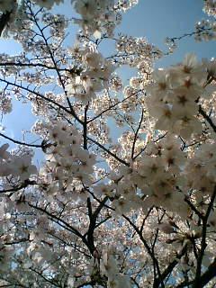 5日の桜☆3