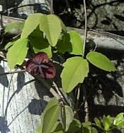 自生したアケビの花.jpg